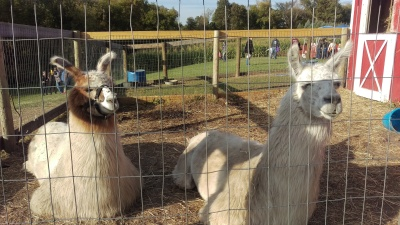 One of these llamas isn't like the other, and I'm talking about the rude bastard on the right.